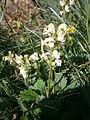 Pedicularis ascendens 002.jpg