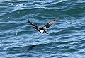 Pelagic Cormorant (Phalacrocorax pelagicus) (8570054547).jpg