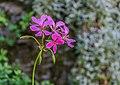 Pelargonium in Estaing 06.jpg
