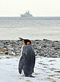 Penguin on South Georgia as HMS Edinbugh Passes By MOD 45153071.jpg