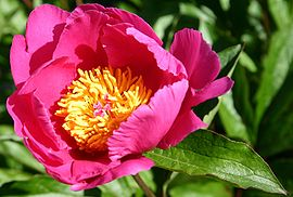 Peonia unknown.jpg