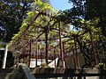 Pergola of wisteria floribunda in Kashii Shrine.JPG