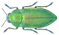 Perotis unicolor (Olivier, 1790).png