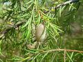 Persoonia hirsuta fruit, Boree Track, Yengo National Park.jpg
