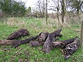 Peserved bog wood at Camowen - geograph.org.uk - 76548.jpg