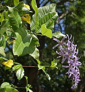 Petrea - Image: Petrea volubilis (Queen's Wreath, Purple Wreath) in Hyderabad, AP W IMG 9588