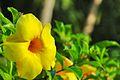 Petunia amarilla.jpg