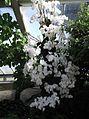 Phalaenopsis cultivars - kew 3.jpg