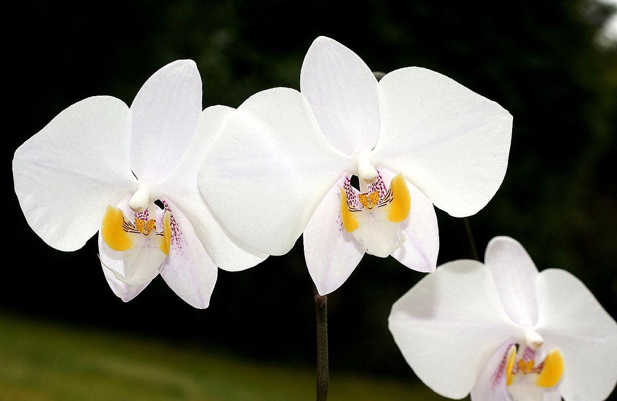 phalaenopsis wikipedia. Black Bedroom Furniture Sets. Home Design Ideas