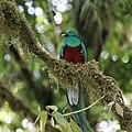 Pharomachrus mocinno Monteverde 17.jpg