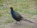 Pheasant, Garwald - geograph.org.uk - 567983.jpg