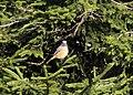 Phoenicurus phoenicurus - Common Redstart, Giresun 2018-08-16 01.jpg