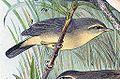 Phylloscopus griseolus 1889.jpg