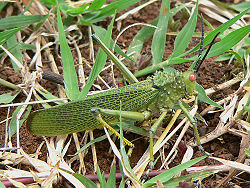 Phymateus viridipes male.jpg
