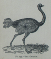 Picture Natural History - No 149 - The Ostrich.png