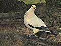 Pied Imperial-pigeon Ducula bicolor (7116115487).jpg