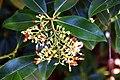 Pieris formosa in Dunedin Botanic Garden 03.jpg