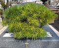 Pierre tombale et arbuste - cimetière Montparnasse.JPG