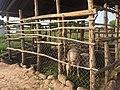 Piggery in Rhino Camp refugee settlement.jpg