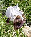 PikiWiki Israel 42166 Iris Bismarkia (cropped).jpg