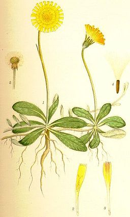 Pilosella officinarum gråfibbla