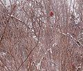 Pine Grosbeak II.jpg