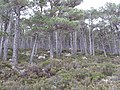 Pine forest above the Allt Ruadh - geograph.org.uk - 318530.jpg