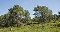 Pine forest in Saint Lucie Island 02.jpg