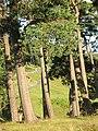 Pine woods, Woodburn - geograph.org.uk - 541816.jpg
