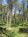 Pine woods on The Raven dunes, Co. Wexford - geograph.org.uk - 1873801.jpg