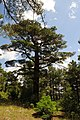 Pinus brutia, Findikli 4.jpg
