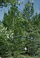 Pinus clausa Chipola.jpg