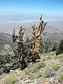 Pinus longaeva Telescope Peak.jpg