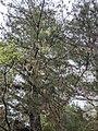 Pinus morrisonicola 66058227.jpg