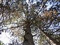 Pinus silvestrys - Beli bor (1).jpg