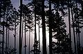 Pinus taeda1.jpg