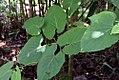 Piper auritum 31zz.jpg