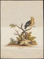 Pipra aureola - 1700-1880 - Print - Iconographia Zoologica - Special Collections University of Amsterdam - UBA01 IZ16600193.tif