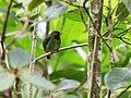 Pipreola chlorolepidota - Fiery-throated Fruiteater - male.jpg