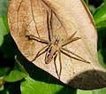 Pisaura mirabilis - Flickr - gailhampshire.jpg