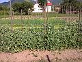 Pisum sativum - 1004.jpg