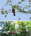Pithecellobium dulce - Flickr - Dick Culbert.jpg