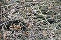 Pityopsis graminifolia 12zz.jpg