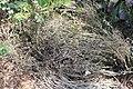 Pityopsis graminifolia 13zz.jpg