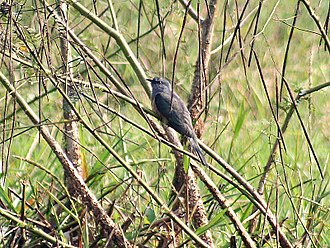 Plaintive cuckoo -  In Kolkata, West Bengal, India.