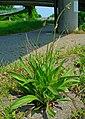Plantago laceolata 001.JPG