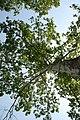 Platanus × hispanica 25zz.jpg