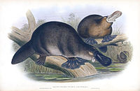 A colour print of platypuses from 1863