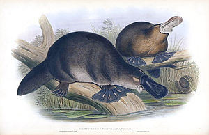 Platypus - A colour print of platypuses from 1863