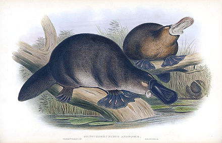 A colour print of platypuses from 1863 Platypus-sketch.jpg